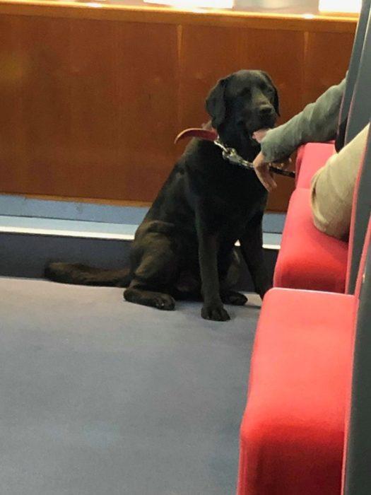 Una foto de Lass, la perrita labrador sentada a un lado de un sillón en donde está su dueño
