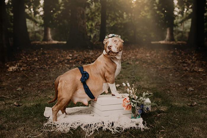 Perra raza pitbull, embarazada, posando para una sesión de fotos en un parque