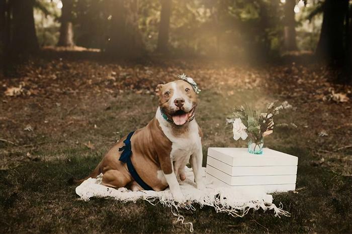 Perra raza pitbull, embarazada, posando para una sesión de fotos en un parque, sonriendo