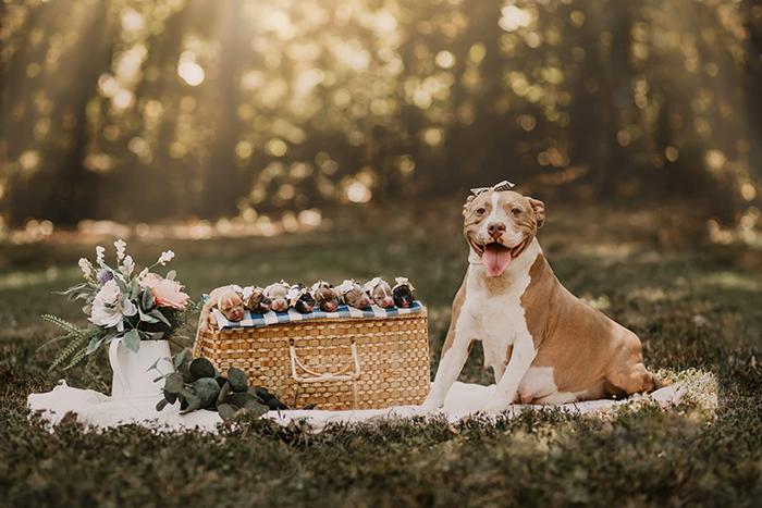 Perra raza pitbull, embarazada, posando para una sesión de fotos en un parque, junado a una cesta de mimbre