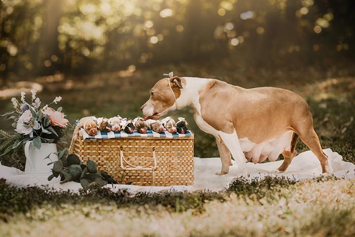 Perra raza pitbull, embarazada, posando para una sesión de fotos en un parque, lamiendo sus cachorros