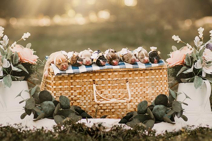 Perra raza pitbull, embarazada, posando para una sesión de fotos en un parque, cesta de mimbre con cachorro encima