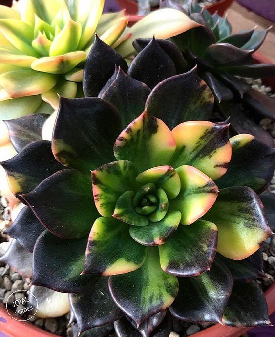 Suculenta verde tiñéndose de negro