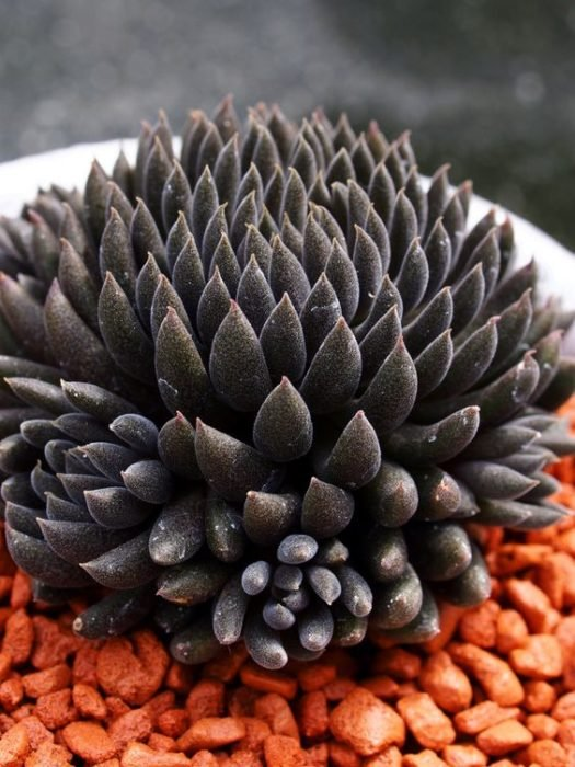 Scuculenta negra sobre una decoración de piedras anaranjadas