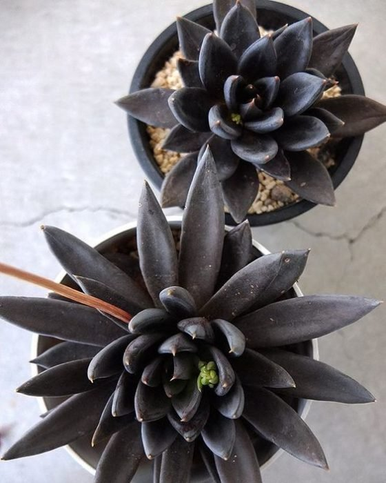 Pequeñas macetas con suculentas negras desfloradas