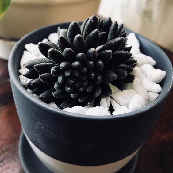 Suculenta en negro dentro de una maceta vintage en tonos oscuros