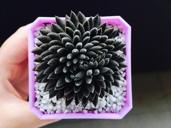 Pequeña maceta en tono rosa con una suculenta dentro en negro