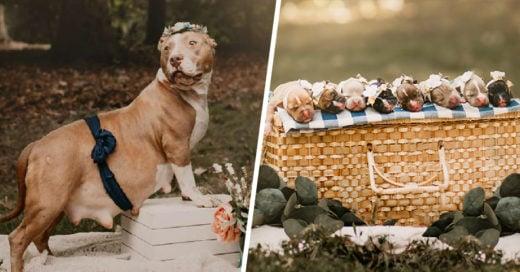 Esta pitbull tuvo la mejor sesión de fotos por su embarazo y es adorable