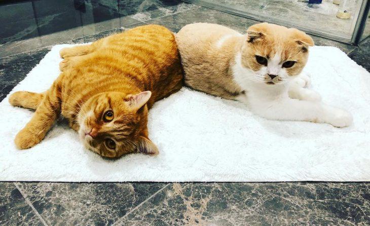Calippo y Dorito los gatos pardos de Ed Sheeran recostados sobre el piso de mármol