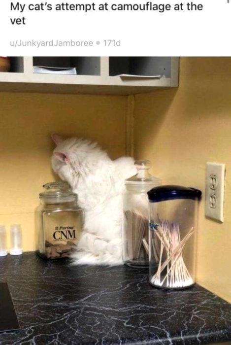 Gato blanco y peludo tratando de esconderse del veterinario