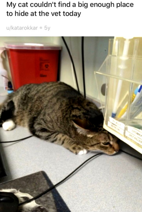 Gato atigrado tratando de esconderse del veterinario