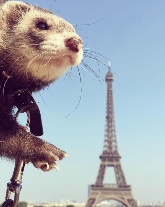 Hurón tomandose una foto frente a la torre eiffel