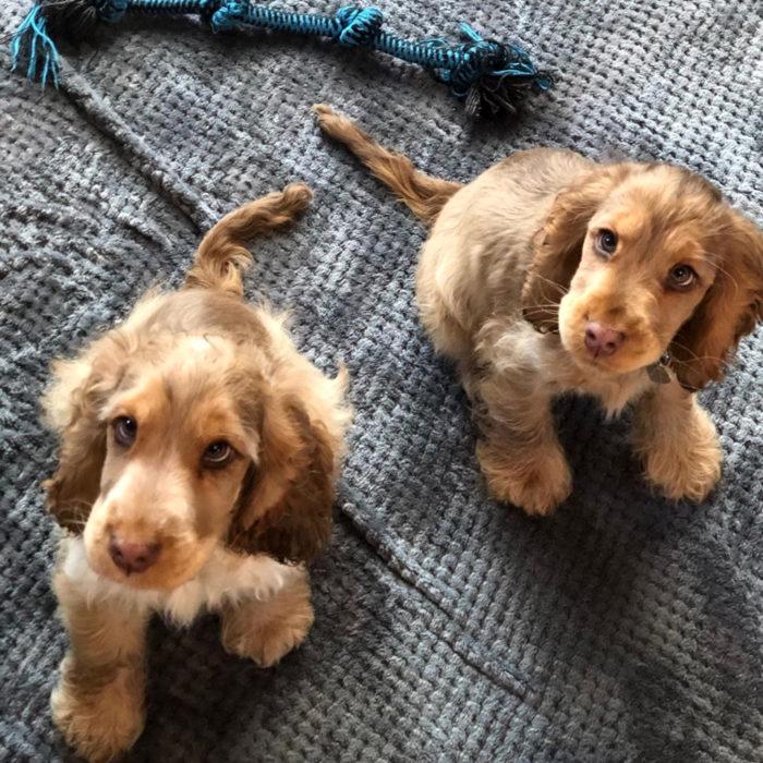 Winnie la perra cachorra cocker spaniel con los ojos más bonitos; verdes y de largas pestañas; perritos