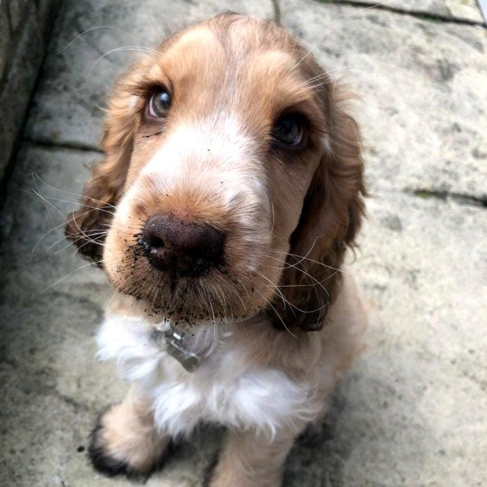 Winnie la perra cachorra cocker spaniel con los ojos más bonitos; verdes y de largas pestañas