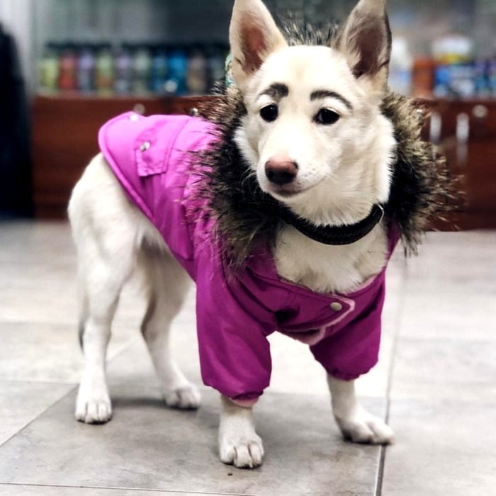 Betty, la perra con cejas; cachorra blanca de orejas paradas con suéter rosa