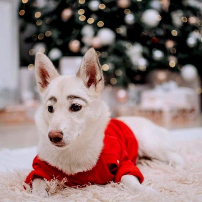 Betty, la perra con cejas; cachorra blanca con orejas paradas y suéter rojo de Navidad