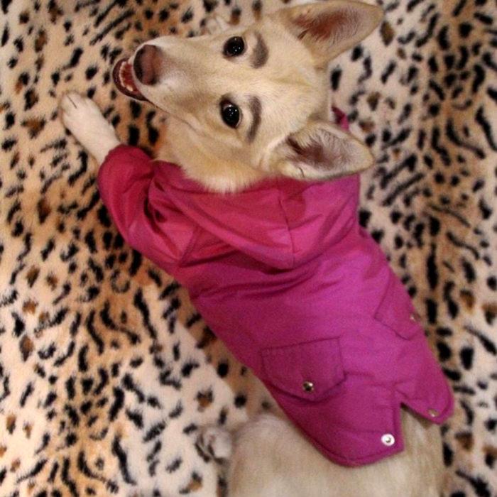 Betty, la perra con cejas; cachorra blanca con orejas paradas y suéter rosa