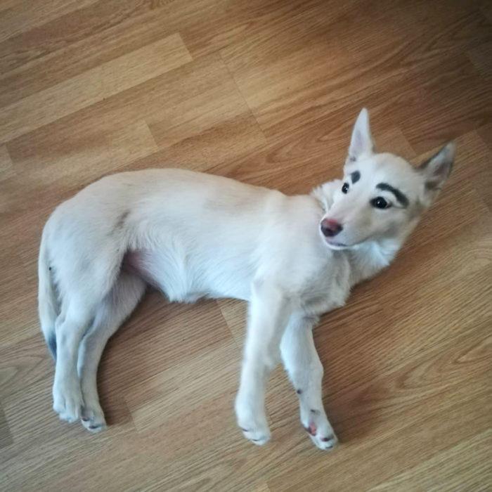 Betty, la perra con cejas; cachorra blanca de orejas paradas acostada en el suelo