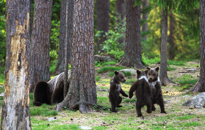 Fotografía de Valtteri Milkahaiunen osos jugando en el bosque