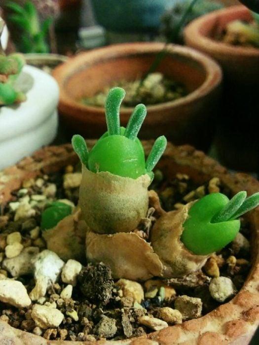 Suculentas oreja de conejo creciendo lentamente