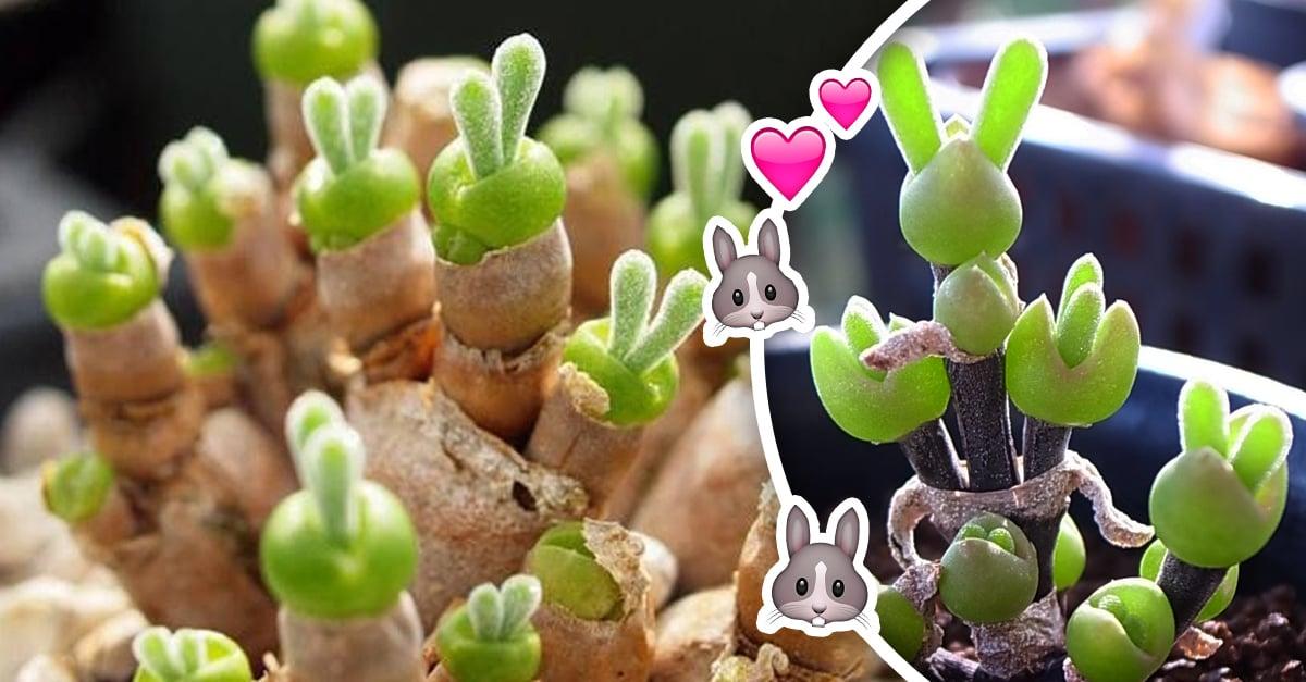 Las suculentas orejas de conejo SÍ existen, ¡y las vas a querer todas!