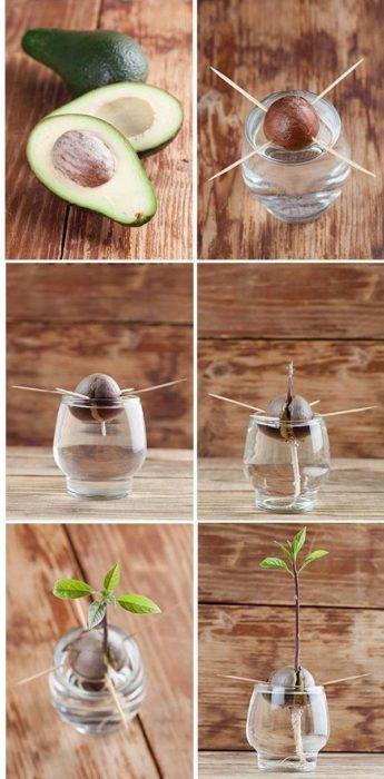 Cultivar aguacate en casa