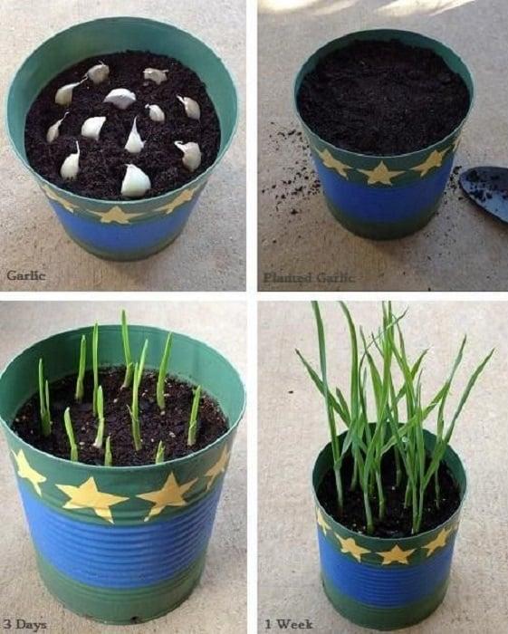 Cultivar ajos en casa