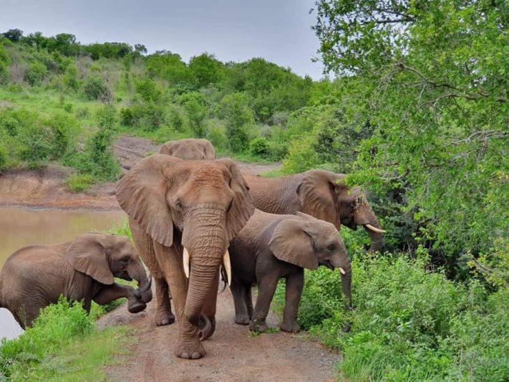 Elefantes de Thula Thula