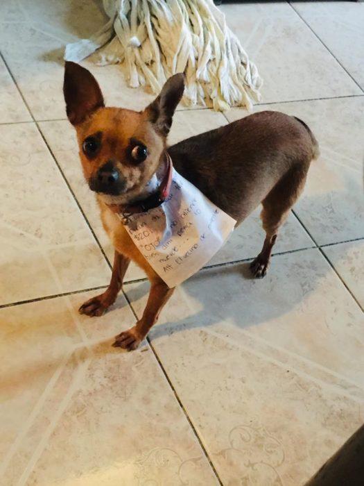 Perrito chihuahua con una nota en el cuello realizando compras