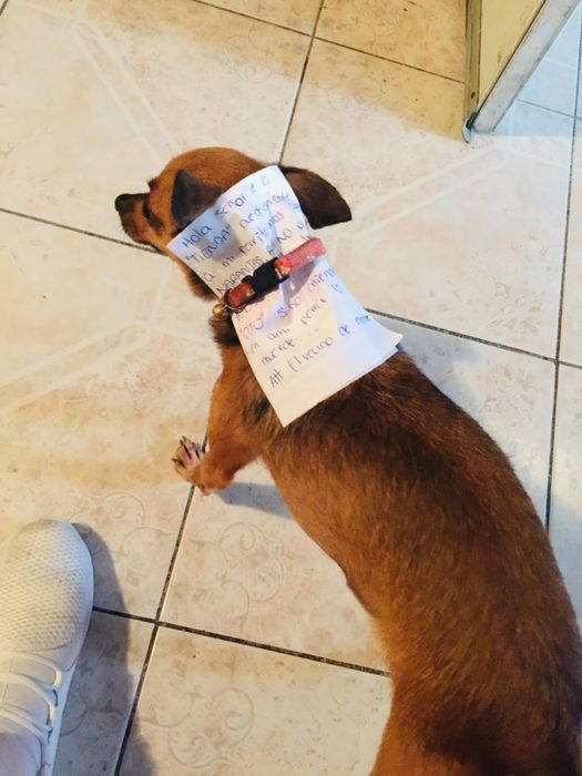 Perro chihuahua con una nota amarrada a su collar