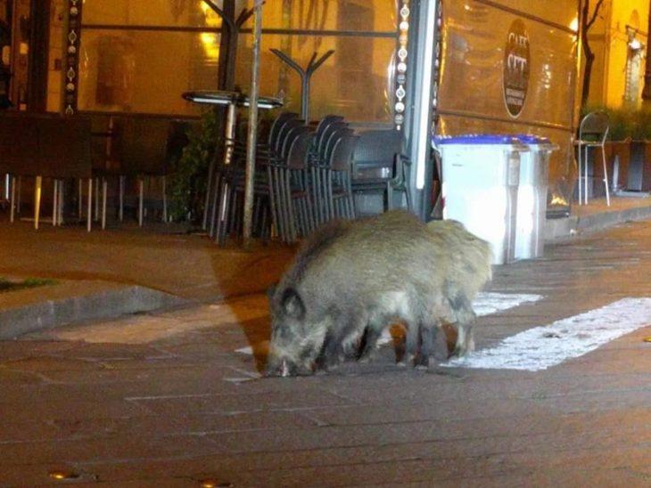 Jabalíes paseando por las calles de Italia