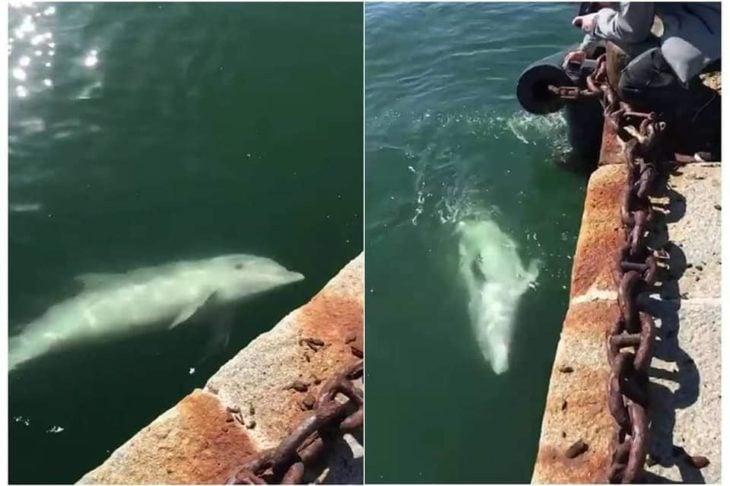 Delfines en los canales de Italia