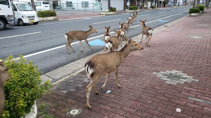 Venados en las calles de Japòn