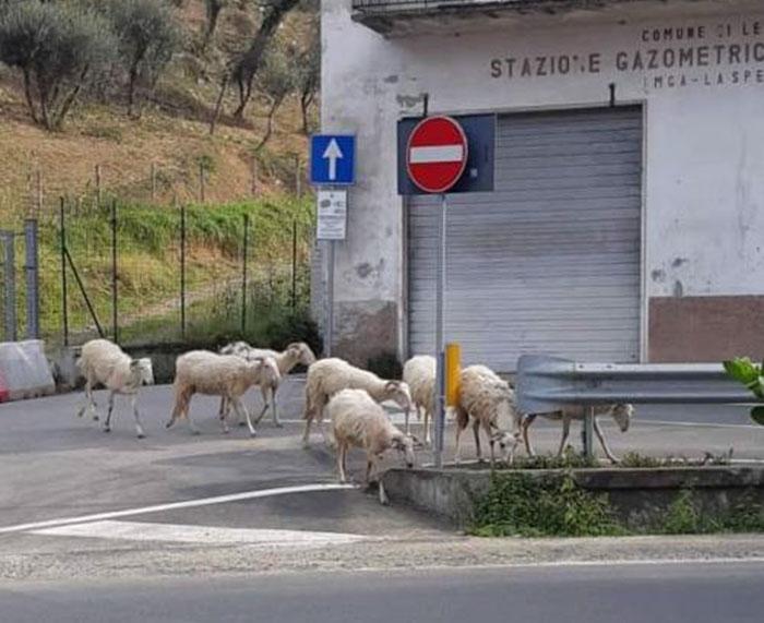 Borregos en las calles de España