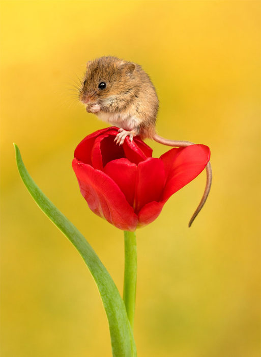 Fotografía de Miles Herbert, ratón de campo sobre un tulipán rojo