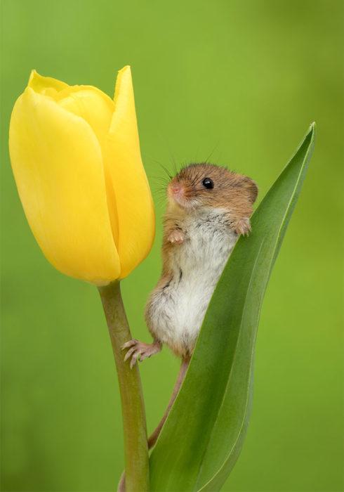 Fotografía de Miles Herbert, ratón de campo sobre un tulipán amarillo