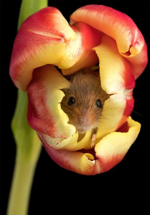Fotografía de Miles Herbert, ratón de campo dentro de un tulipán rojo