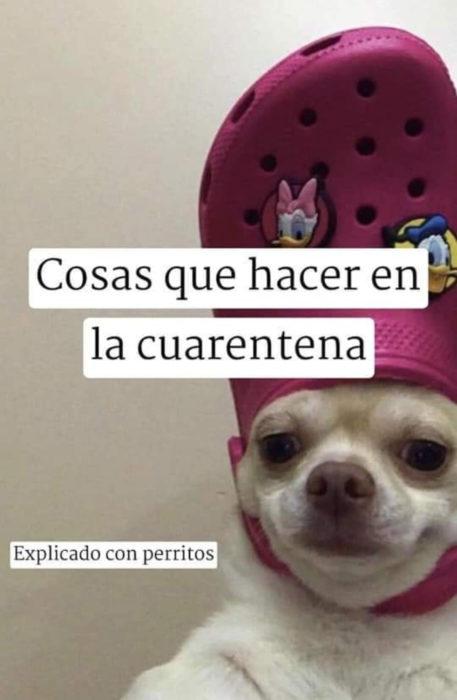 Memes de perritos explicando qué hacer en la cuarentena; perro con zapato en la cabeza