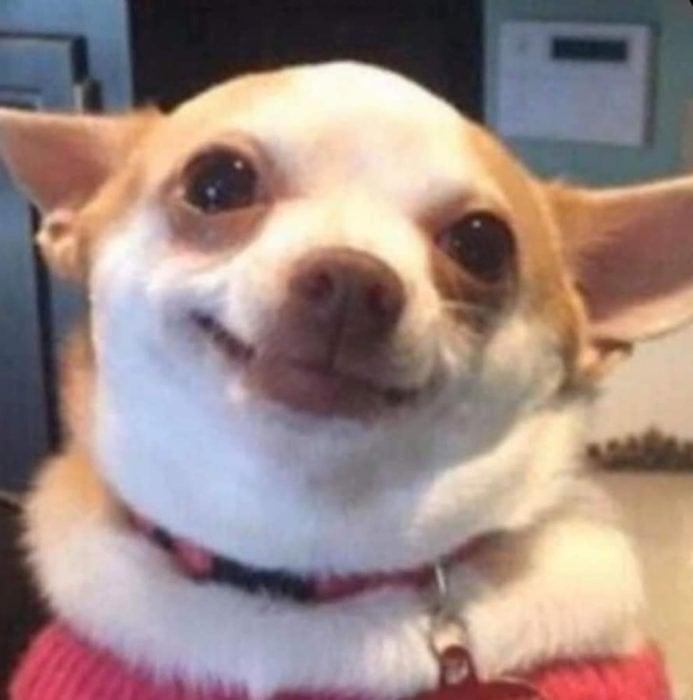 Memes de perritos explicando qué hacer en la cuarentena; perro chihuahua feliz