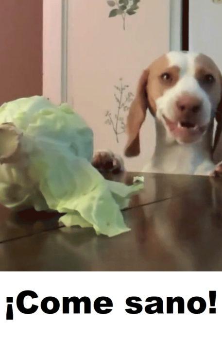 Memes de perritos explicando qué hacer en la cuarentena; perro comiendo lechuga