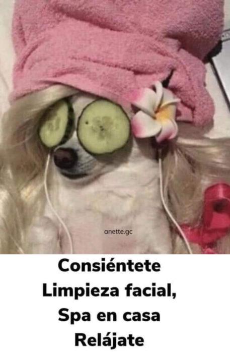 Memes de perritos explicando qué hacer en la cuarentena; perrita en spa con toalla en la cabeza y pepino en los ojos