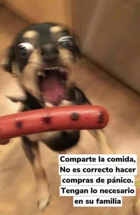 Memes de perritos explicando qué hacer en la cuarentena; perro chihuahua enojado