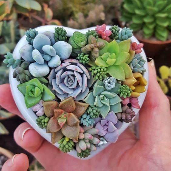 Pequeñas suculentas de colores en una maceta de corazón