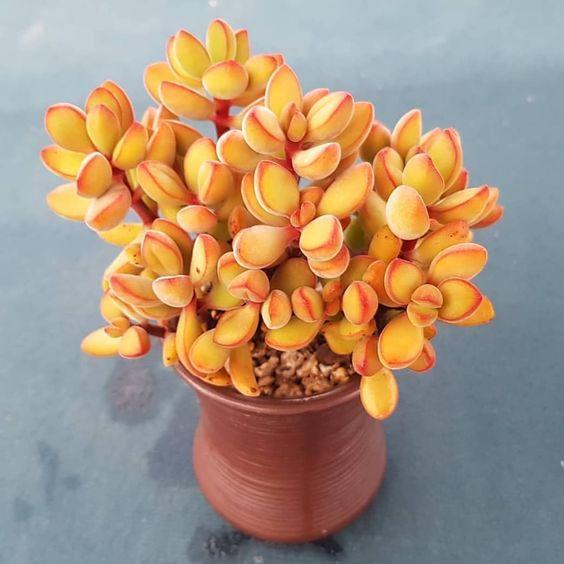 Suculenta de color amarillo dentro de una maceta de ceramica