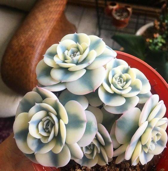 Suculentas en forma de rosas con líneas blancas y azules