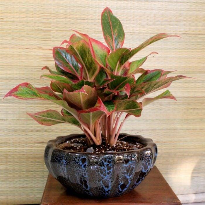 Maceta con de planta rosada llamada Aglaonemas