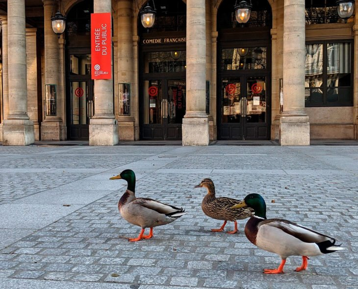 Ducks in the squares of Italy