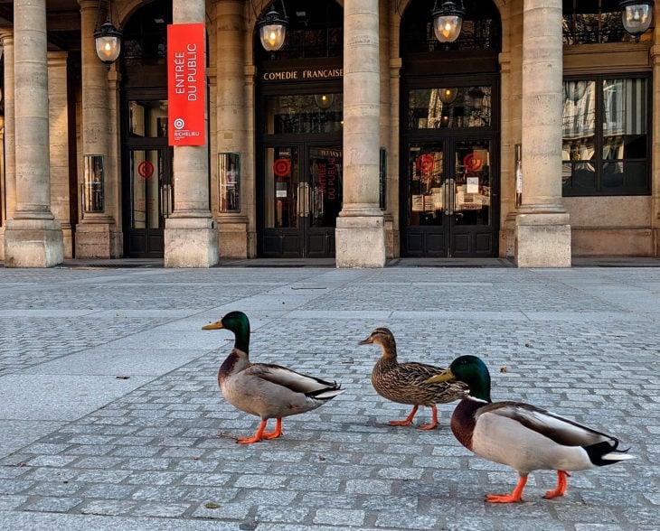 Patos en las plazas de Italia