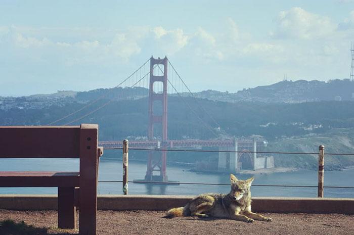 Zorro salvaje recortado entre dos puentes en San Francisco