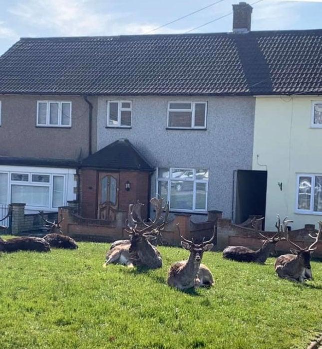Ciervos en los jardines de Londres durante la cuarentena